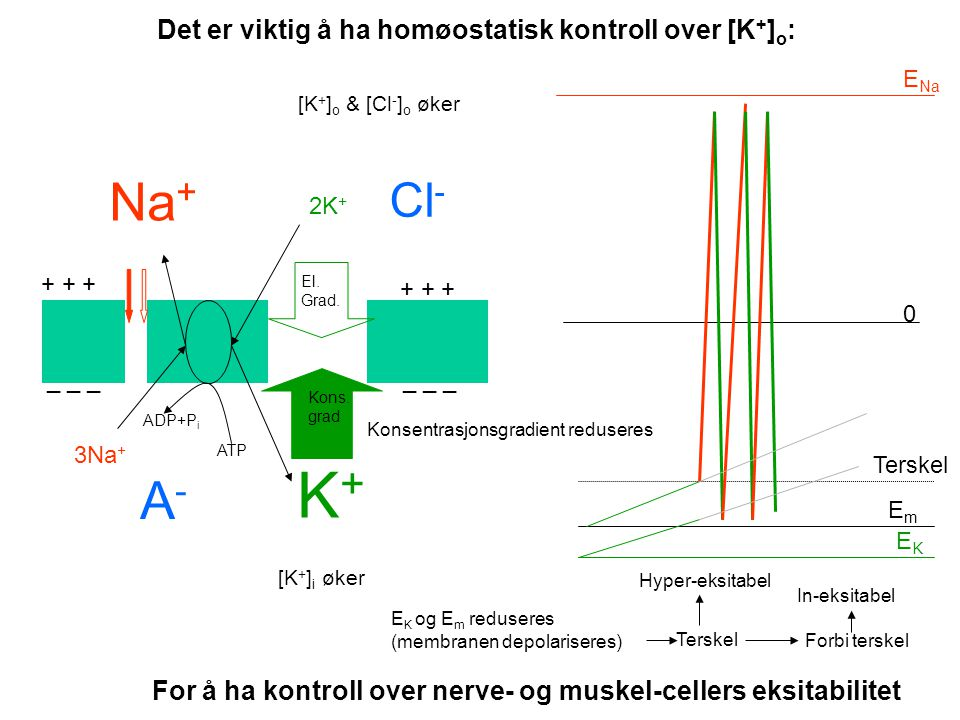 K+ Na+ A- Cl- Det er viktig å ha homøostatisk kontroll over [K+]o: